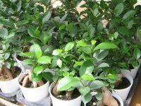 ニンジンガジュマル3.5号鉢植え観葉植物スリムなホワイトの鉢に入ったニンジンに似た株元が面白く丈夫で育てやすい観葉植物販売通販種類