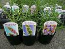ローズマリー 3株セット Herb ハーブ料理にもガーデニングにも楽しめます。大きく育つと花も楽...
