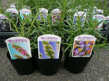 ローズマリー 3株セット Herb ハーブ料理にもガーデニングにも楽しめます。大きく育つと花も楽しめる丈夫な植物です。花苗 キッチンガーデン はーぶ 販売 通販 種類