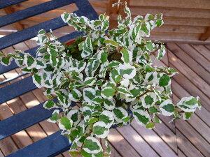 プミラサニーホワイト♪白の斑入りが綺麗で、寄せ植え等に人気/観葉植物/リーフ/リーフプランツ/ミニ観葉植物/