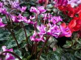 ガーデンシクラメン ミニビクトリア 苗 花苗