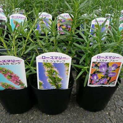 ローズマリー 3株セット Herb ハーブ料理にもガーデニングにも楽しめます 大きく育つと花も楽しめる丈夫な植物です 花苗 キッチンガーデン はーぶ 販売 通販 種類