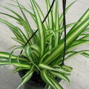 オリヅルラン4号 吊鉢 鉢植え 観葉植物 斑入りの葉が綺麗で美しい人気の植物 子株がたくさん増えて簡単に増やせる植物 グリーン 販売 通販 種類 ホワイト 白 緑