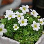 雲間草 白花 花苗 ♪次々咲かせる小花が可愛らしい クモマグサ クモマクサ 常緑多年草 販売 通販 種類【ラッキーシール対応】