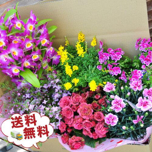 送料無料★超特大びっくり福袋!季節の鉢花を持てないくらい大きな箱で!洋蘭も入...