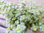 セダムリトルフロッジー苗乾燥気味を好む植物で多肉植物の寄せ植えに最適タニクショクブツ