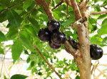 ジャボチカバ6号サイズ鉢植え4年生苗食べれる実を付けてくれる面白い植物とても甘みある果実高さ100cmセンチ