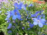 デルフィニュームミントブルー苗イングリッシュガーデン向きの花花芽付