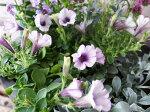 小輪ペチュニアリトルホリデーシルバー苗花芽付ガーデニング