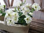 ペチュニアモンローウォークベールホワイト苗花芽付クリーム色グリーン色やや褐色と花色の変化が面白い最新品種花ガーデニング