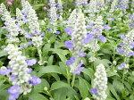 ファリナセアストラータ苗白い花穂にブルーの花が涼しげなブルーサルビア花芽付きガーデニング