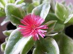 アプテニア斑入りベビーサンローズ苗葉色だけでなく可愛らしいローズの花