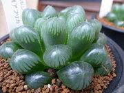 多肉植物 ハオルチア オブツーサ トゥルンカータ タニクショクブツ