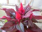 けいとうスマートルック苗ケイトウ銅葉と花のコントラストが非常に美しい品種楽天