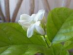 アラビアンジャスミン4号サイズ花芽無しハーブ白い花を咲かせ優美な香りを放つジャスミン楽天