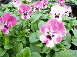ビオララズベリー4株鮮度優先生産農家朝取小輪多花性こんもりあふれんばかりに咲く花楽天
