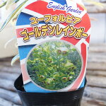 ユーフォルビアゴールデンレインボー苗宿根草イングリッシュガーデン等に使われます高さ30cm