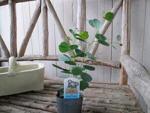 ユーカリポプルネアポポラス3.5号苗ハート形の葉が特徴シンボルツリーに最適グリーン楽天