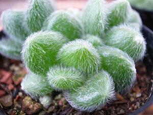 多肉植物 カシミアヒントニー タニクショクブツ グリーン