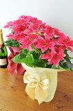 プリンセチア ローザ 5号サイズ 鉢植え 送料無料 ラッピング付き 高さ40cm クリスマス ポインセチア 鉢 プレゼント