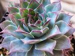 紅葉センペルビウムブルーボーイ3号多肉植物タニクショクブツインテリア観葉植物