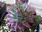 紅葉センペルビウムグローイングアンバーズ3号多肉植物タニクショクブツインテリア観葉植物