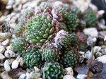 紅葉センペルビウムアラクノイディウムキューティー3号多肉植物タニクショクブツインテリア観葉植物