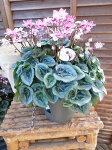 シクラメンフェアリーピコダブル6号鉢2色の花色が珍しい八重咲きシクラメン送料無料高さ40cm
