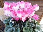 シクラメンプルマージュピンク6号鉢送料無料2色のコントラストが美しい魅力的なシクラメン