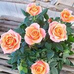 ミニバラアロハコルダーナ3.5号鉢ミニバラの中でも大輪の種類色鮮やかなオレンジにイエローが混じる花