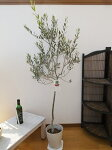 現品オリーブタジャスカ7号鉢送料無料シンボルツリー室内観葉植物としても人気高さ120cm