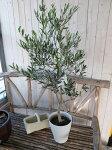 現品オリーブネバディロブランコ7号鉢送料無料シンボルツリー室内観葉植物としても人気高さ120cm