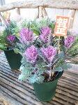 NEWハボタンフェザー寄せ7号鉢お正月ピック付葉牡丹の寄せ植え送料無料高さ50cmセンチ植物