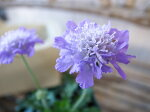 スカビオサエコーブルー苗青ブルー多年草花芽付植物