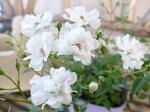 ミニバラレンゲローズホワイト3.5号白の花花芽付植物