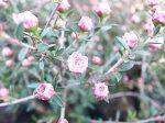 ギョリュウバイミニピンク苗小輪の桃の花花芽付植物