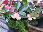 希少種!ゴールテリアホワイトベリーピンク大苗別名チェッカーベリーほんのりピンクに染まる白い大粒の実花は白ホワイト