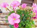 オキザリスラブハピネスローズ苗桃色の花植物花芽付