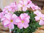 オキザリスラブハピネスピンク苗桃色の花植物花芽付