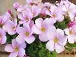 オキザリスラブハピネスソフトピンク苗桃色の花植物花芽付
