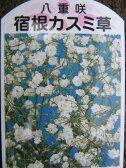 かすみ草 宿根八重咲カスミソウ 切花やドライ、ブーケに丈夫な宿根草で毎年素敵な花を咲かせてくれます 花苗 かすみ草 カスミソウ 販売 通販 種類