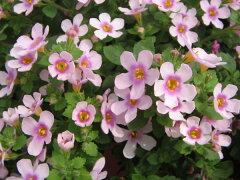 バコパ ピンクリンク苗♪寄せ植えやスタンド鉢等に人気沸騰中の花。大きめの花でピンクの花色...