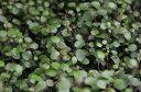 ワイヤープランツ苗♪寄せ植えアイテムにも人気♪室内観葉としても育てやすい観葉です/匍匐性常...