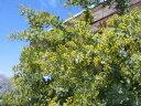 ミモザアカシア苗♪シンボルツリー!黄色い花が魅力 花苗 ミモザ 花苗 通販 種類ミモザアカシア...