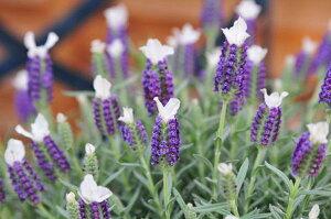 ラベンダー♪フレンチ ラベンダー わたぼうし苗 ハーブ ブルーに白が可愛らしい花芽付き 花苗 ...