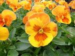 パンジーオレンジスライス4株セット♪鮮度優先、生産農家、朝取り【花苗】【パンジー】【大株】【大苗】【種類】