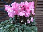 シクラメンファルバラローズ5号サイズ鉢植え変り咲きシクラメン冬の定番フリル咲きが魅力のファルバラローズ