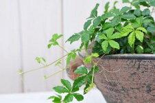 パーセノシッサスシュガーバイン観葉植物常緑多年草つる性植物でオランダにて育種選抜された品種です販売通販種類