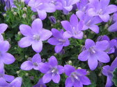 ベルフラワー 花苗 ブルーのベルのような花を株いっぱいに咲かせてくれる花 プランターやコンテナに植え込めば毎年楽しめる宿根草です販売 通販 種類