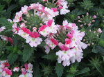 バーベナピンクパフェ大株花苗宿根草可愛らしいピンクの複色咲きが楽しめる販売通販種類